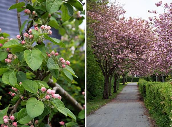 blomstrende-traer_valdemarsro