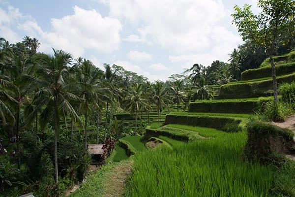Bali_rice