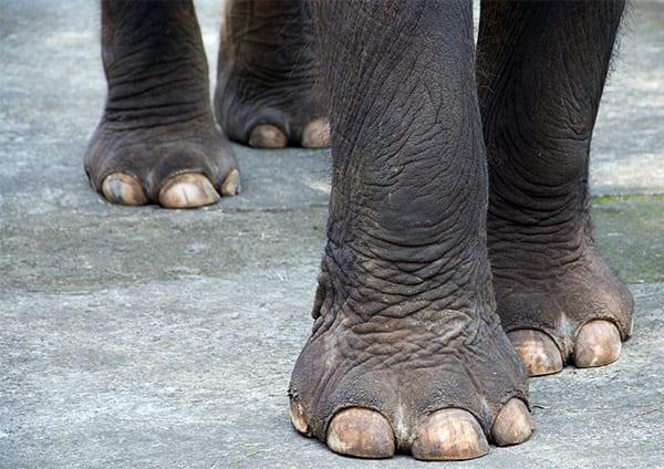 elefantfoedder