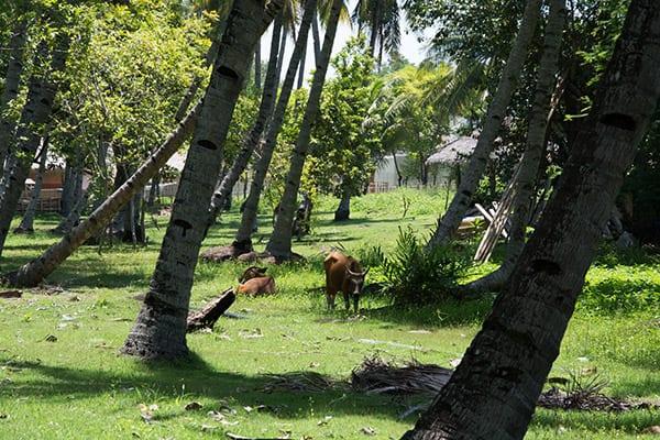 gili-island-palm