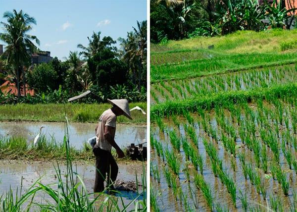 ricefields ubud