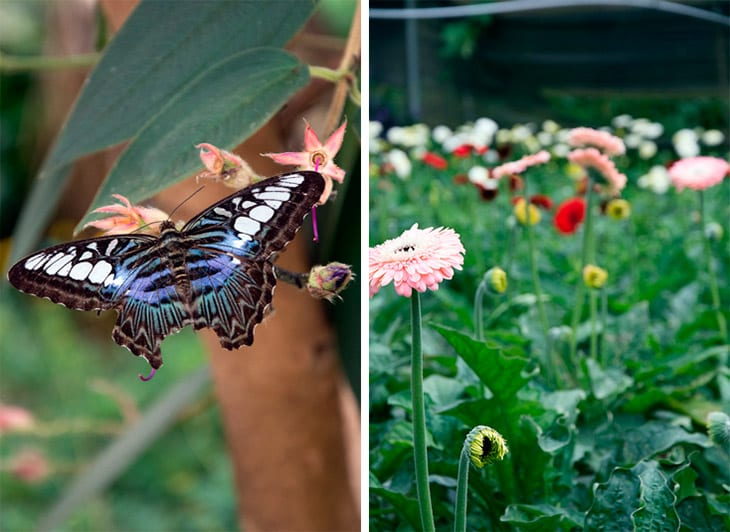 Butterfly-Cameron-highlands