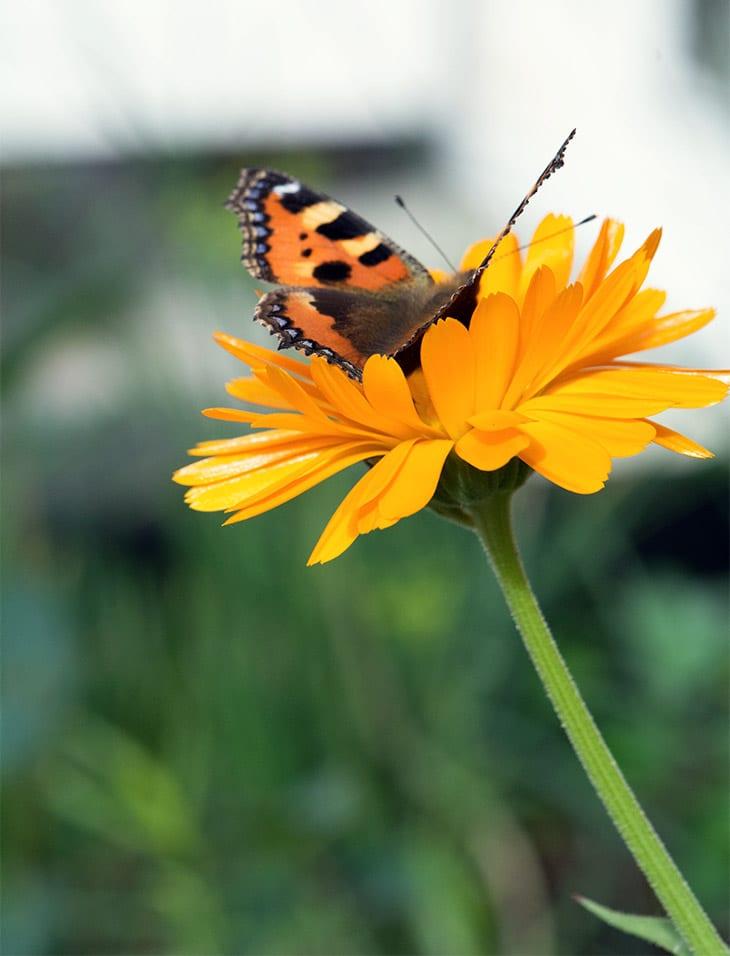 sommerfugl i morgenfrue