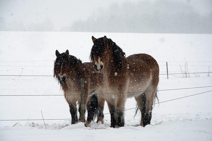 heste vinter