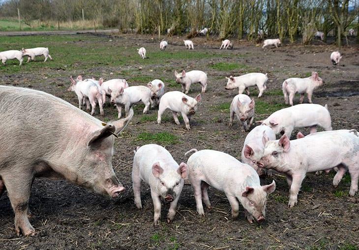 danske grise økologisk