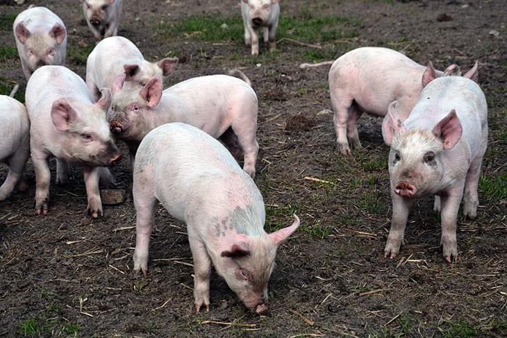 frilands grise