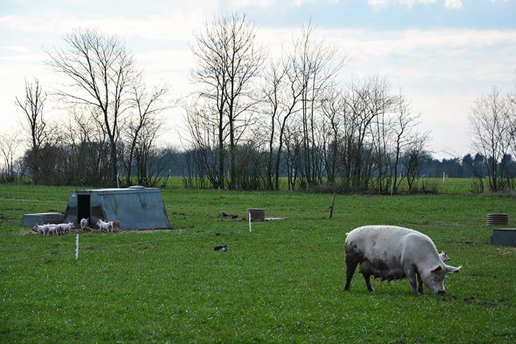 friland svin