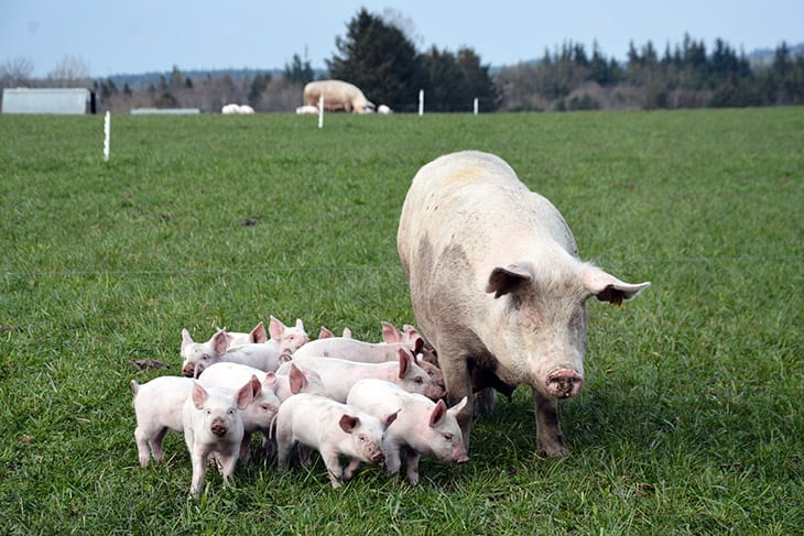 øko grise