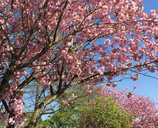 lyserøde træer