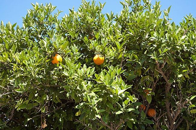 appelsintraer