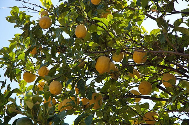 citrontrae
