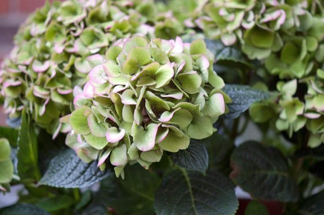 hortensia-groen