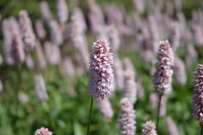 lyserod-blomst